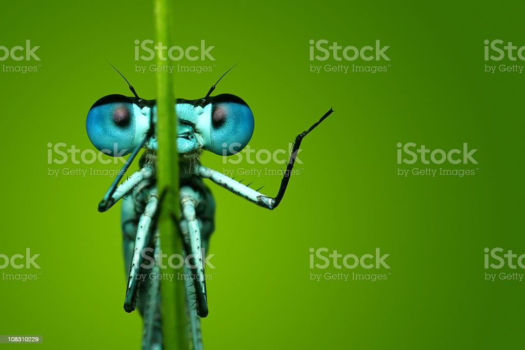 Blue Dragonfly Sitting on Blade of Grass stock photo