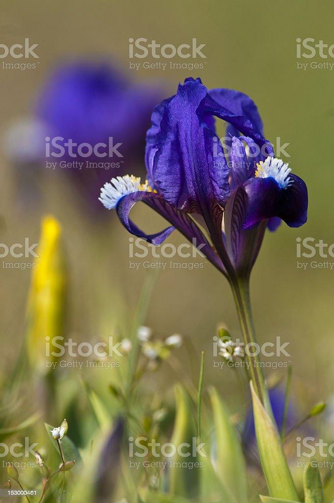 Blue Dwarf Iris stock photo