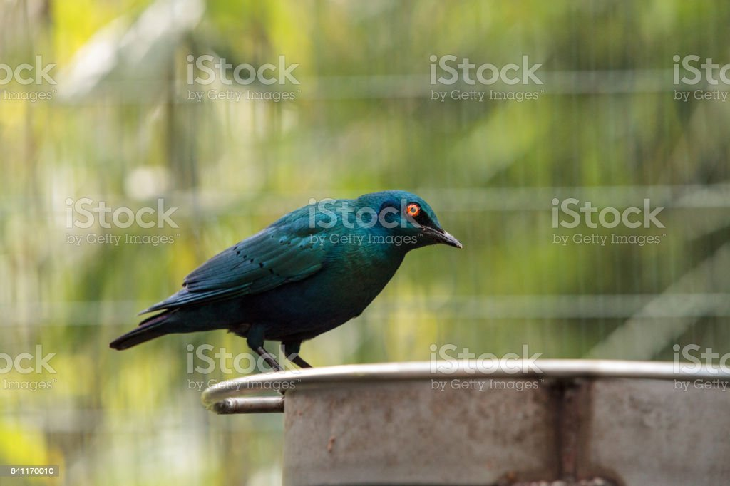 Blue eared glossy starling stock photo