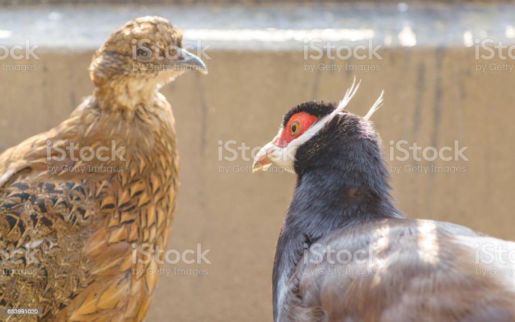 Blue Eared Pheasant stock photo