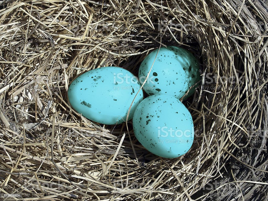 Blue Eggs in a Nest stock photo