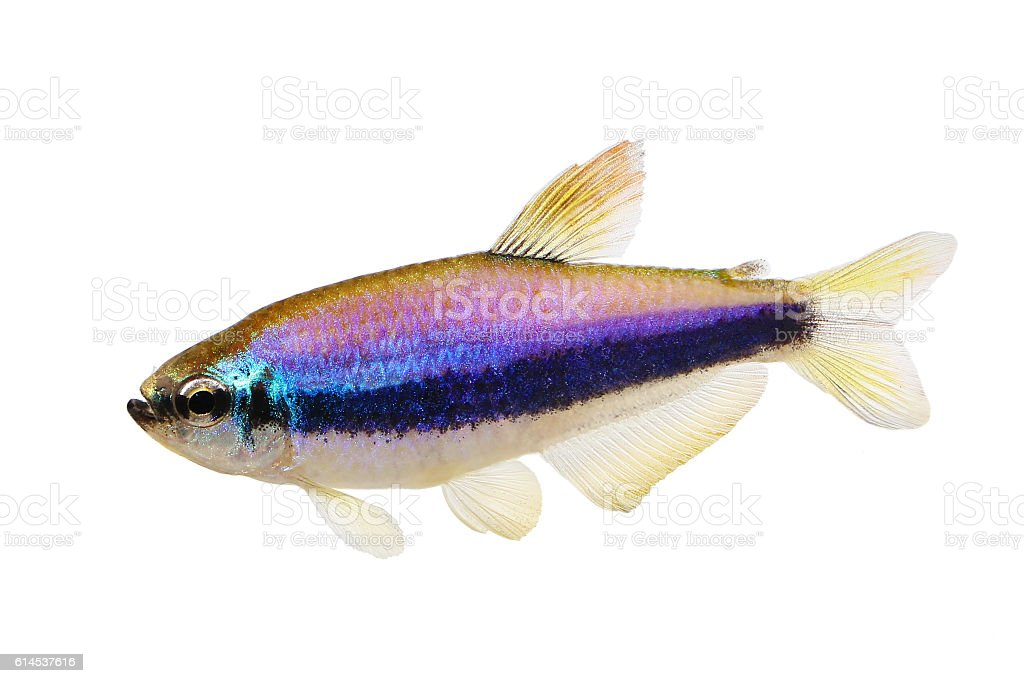 Blue Emperor Tetra Inpaichthys kerri tropical aquarium fish isolated stock photo