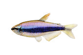 Blue Emperor Tetra Inpaichthys kerri tropical aquarium fish isolated