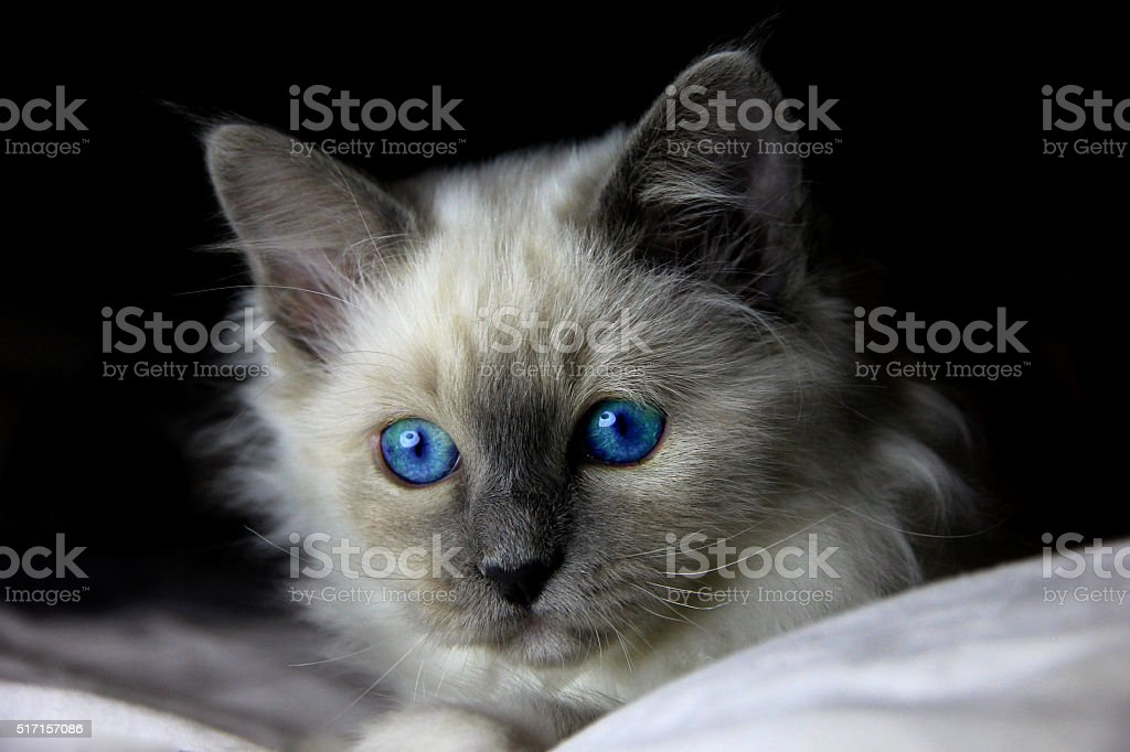 Blue eyed Biman cat - kitten portait stock photo