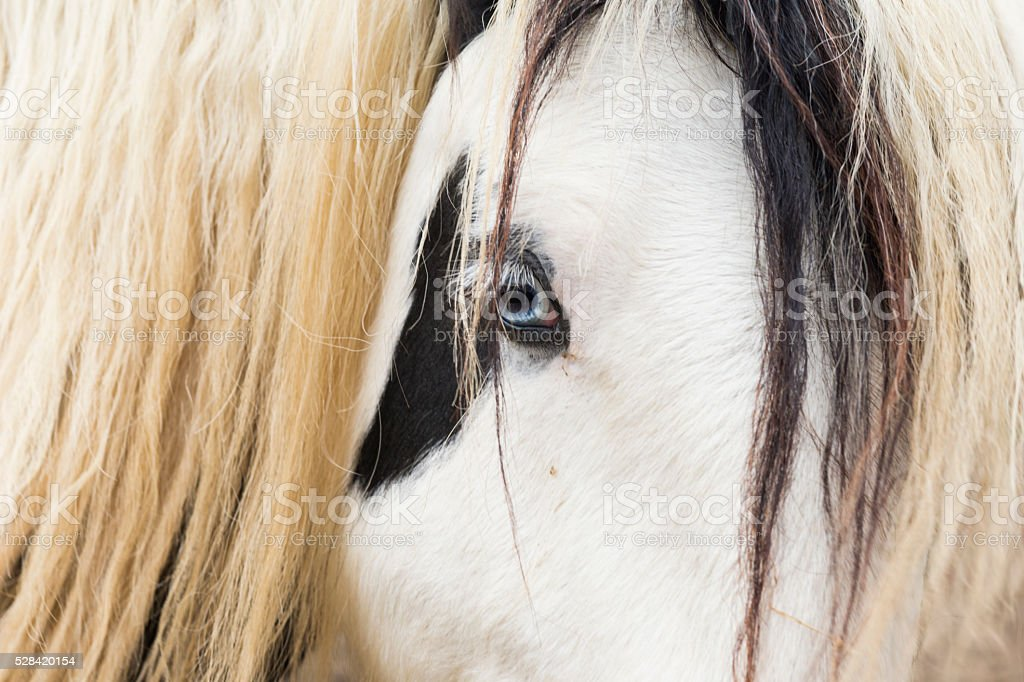 Blue eyed Gypsy Vanner horse stock photo