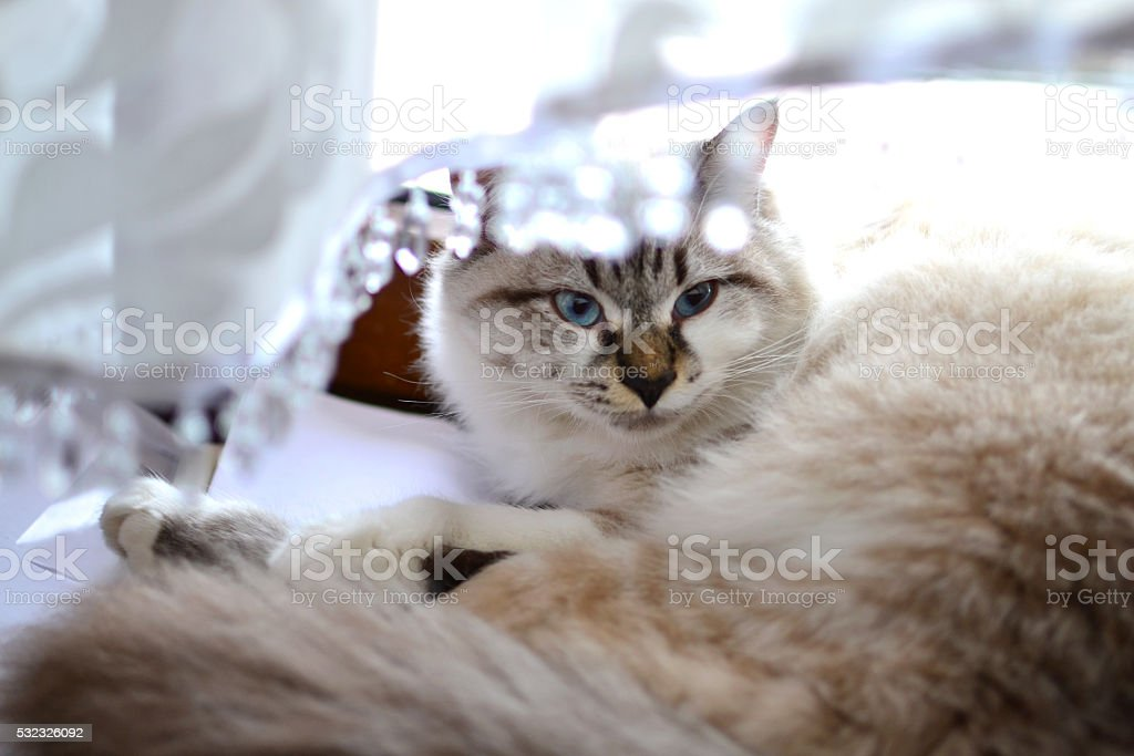 Blue eyed Persian cat stock photo