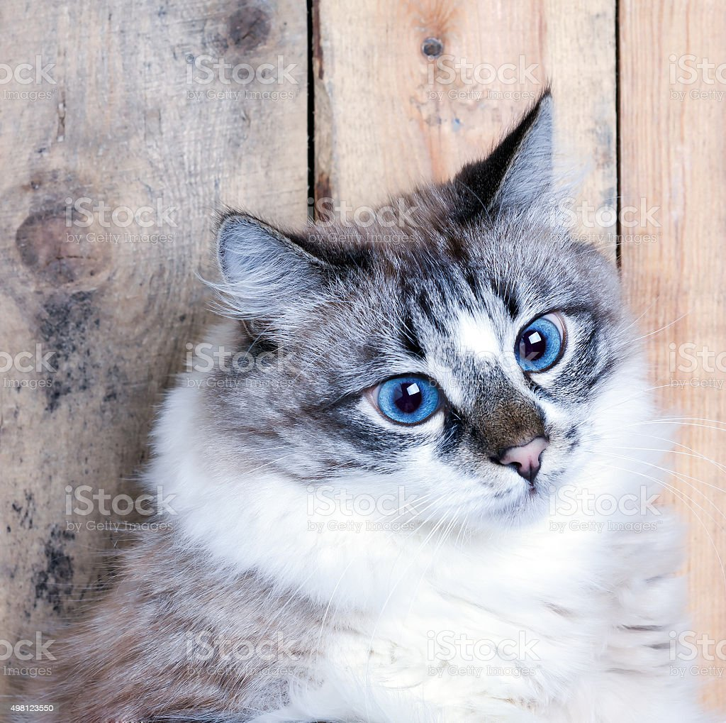 blue eyed young cat stock photo