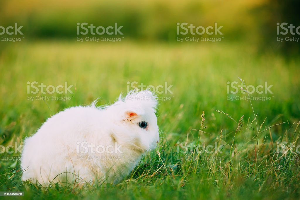 Blue Eyes Lop-Eared Dwarf Snow-White Mixed Breed Rabbit Bunny Sitting stock photo