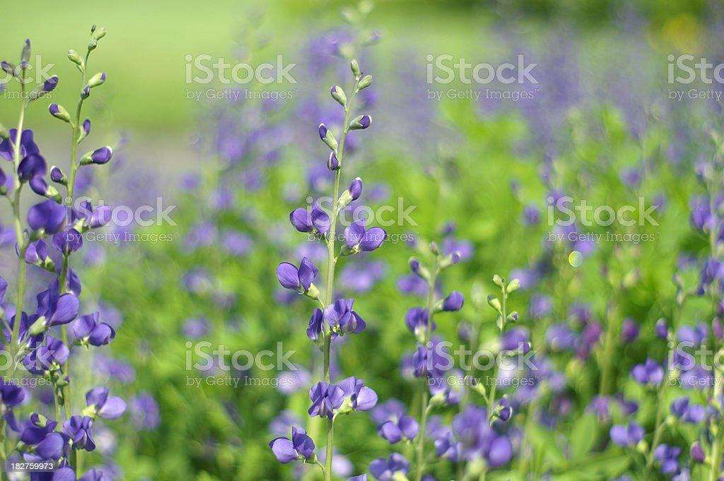 Blue False Indigo (Baptisia) I stock photo