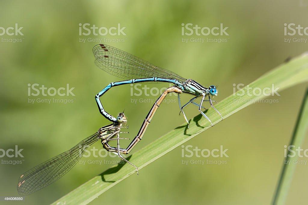 featherleg caballito del diablo azul foto de stock libre de derechos