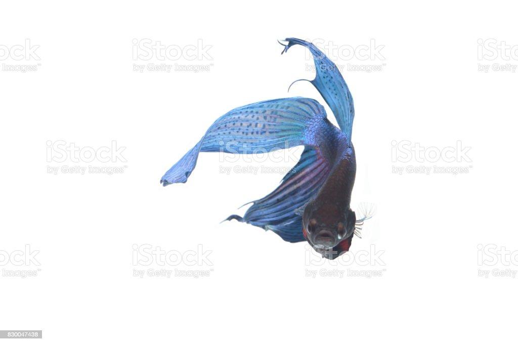 blue Fighting fish. stock photo