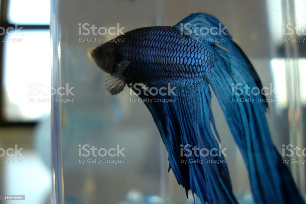 blue fighting fish/betta royalty-free stock photo