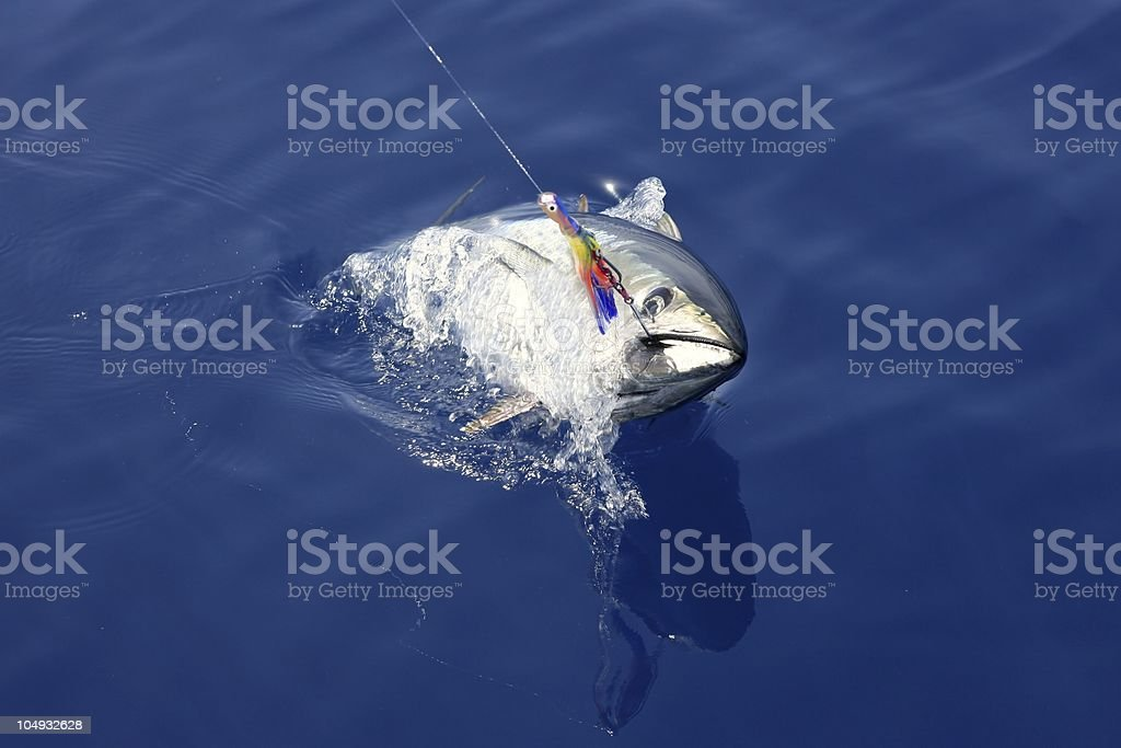 Blue fin tuna Mediterranean fishing and release royalty-free stock photo