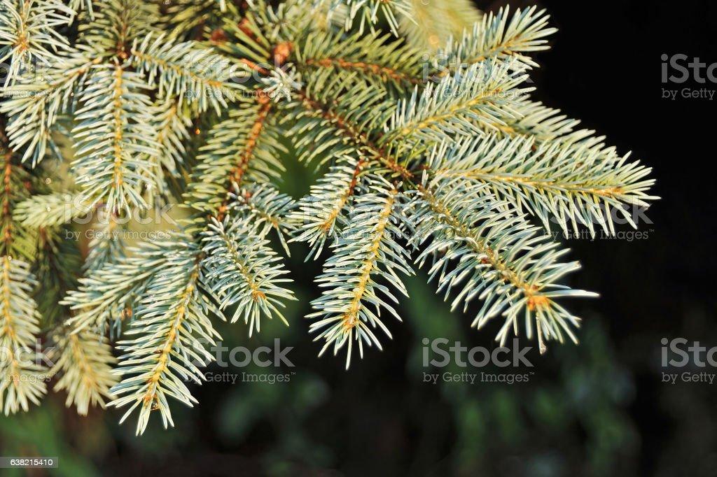 Blue fir tree, close up stock photo