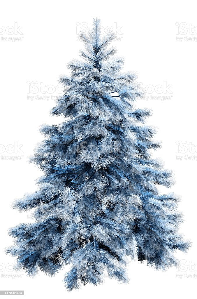 Blue fir tree with clipping path stock photo