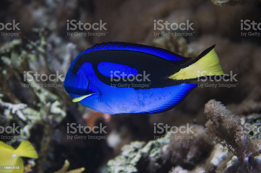 blue fish by the riff stock photo