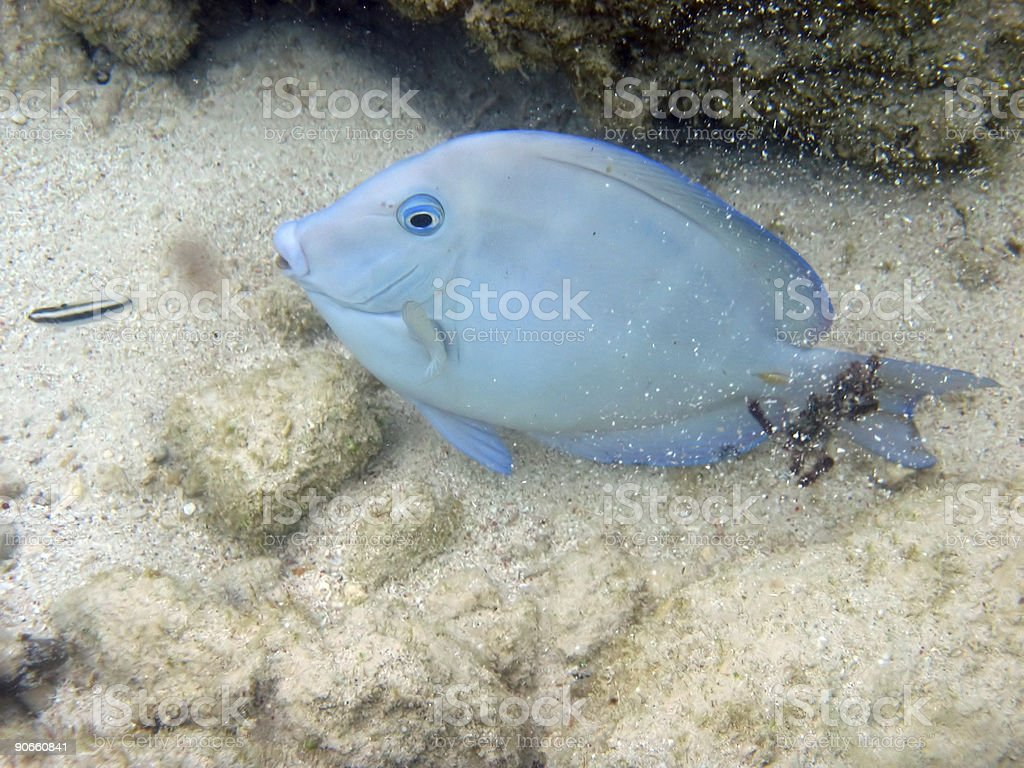 Blue fish royalty-free stock photo