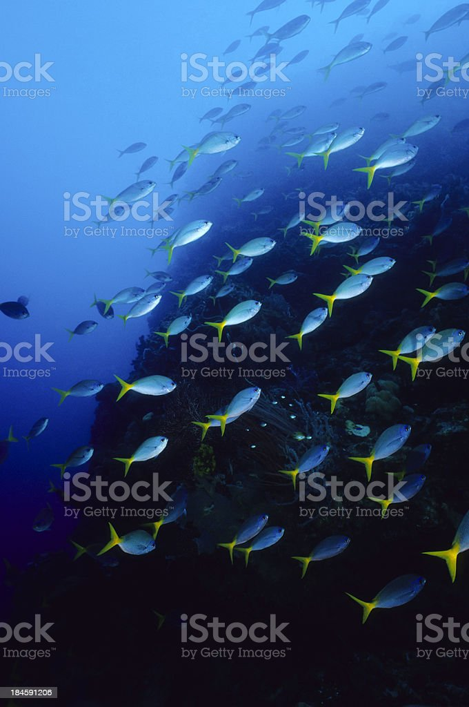 Blue Fish Rising stock photo