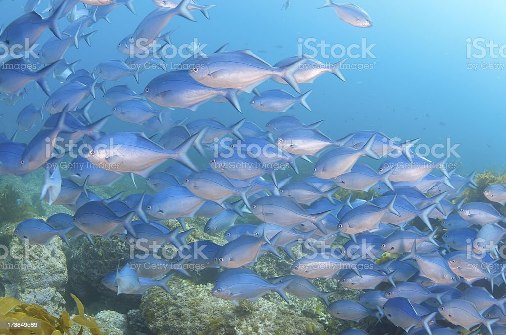 Blue Fish school stock photo