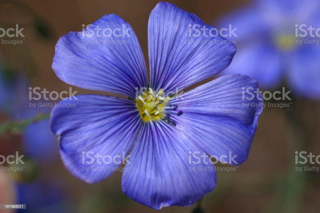Blue Flax Bloom, Linum perenne lewisii stock photo