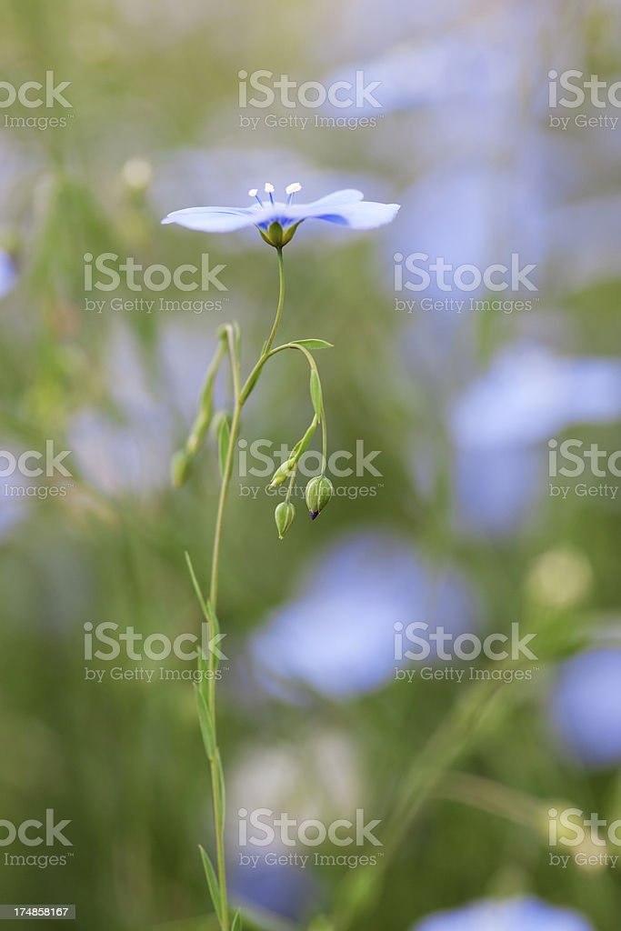 Blue Flax Bloom, Linum perenne stock photo