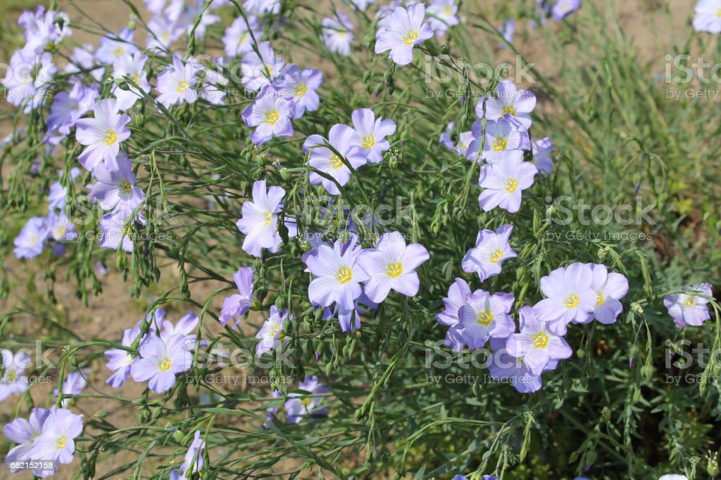 Blue flax flower in garden. Flowering flax plant with blue flowers stock photo