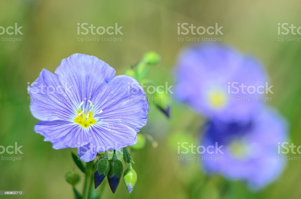 Blue Flax Wildflower stock photo