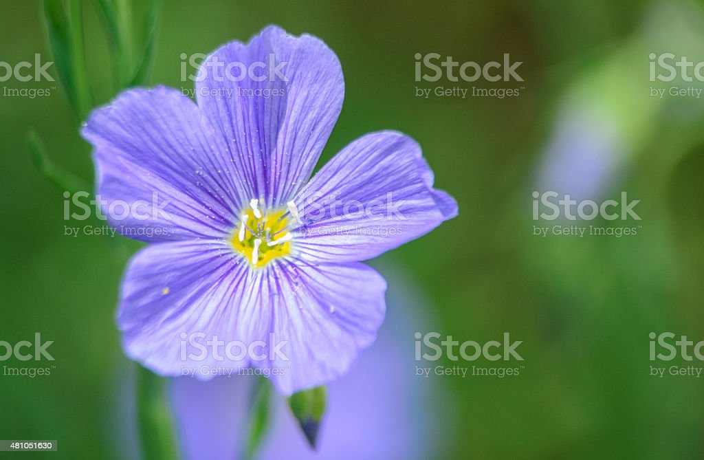 Blue Flax Wildflower stock photo