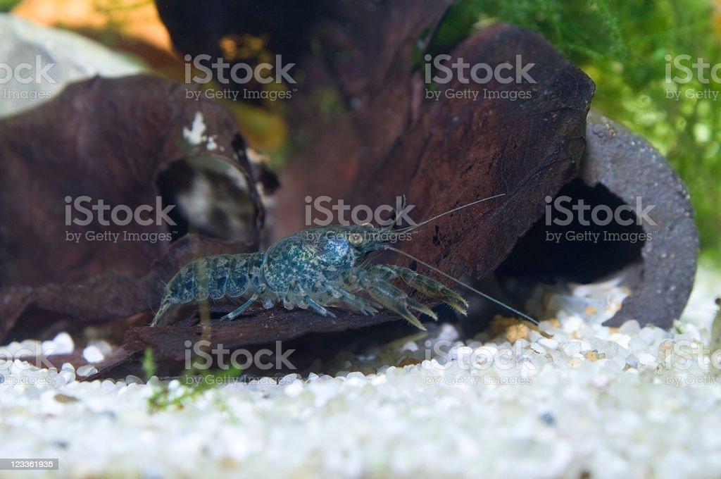 Blue Florida Crayfish ( Procambarus Alleni) Baby stock photo