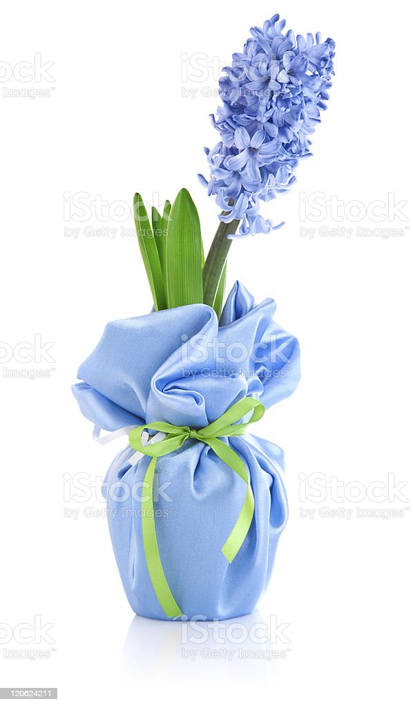 blue flower hyacinth in wrapping with bow royalty-free stock photo