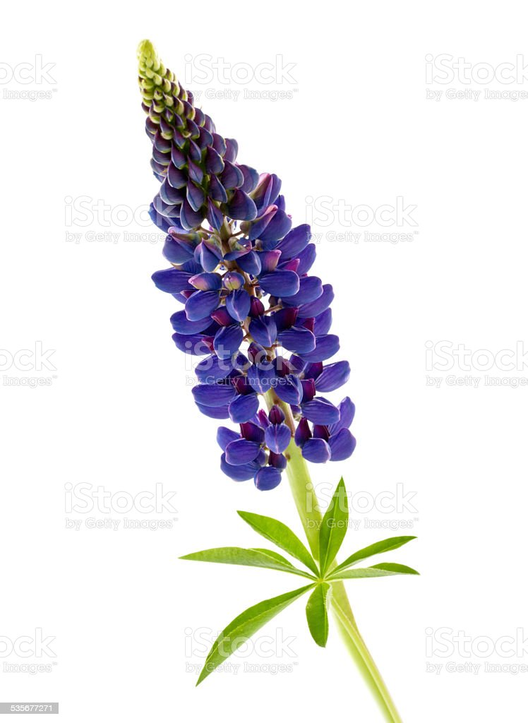 blue flower lupine isolated stock photo
