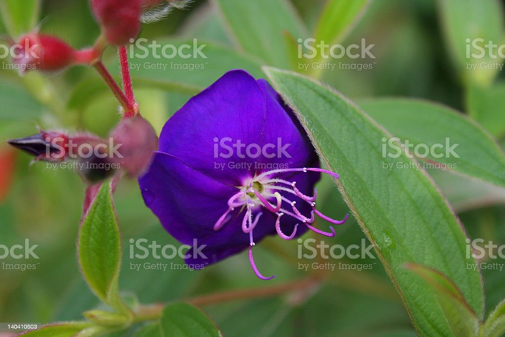 Blue Flower Macro royalty-free stock photo