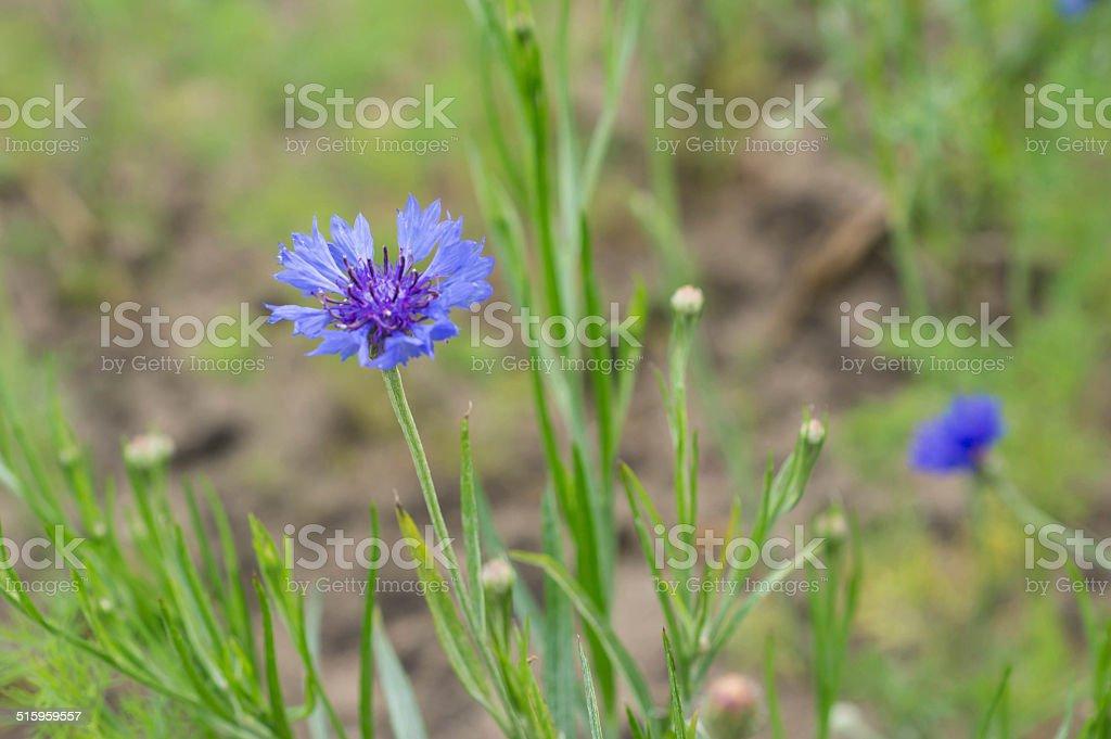 Blue flower of a cornflower in a garden stock photo