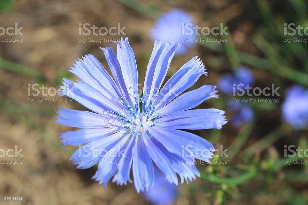 blue flower of Cichorium stock photo