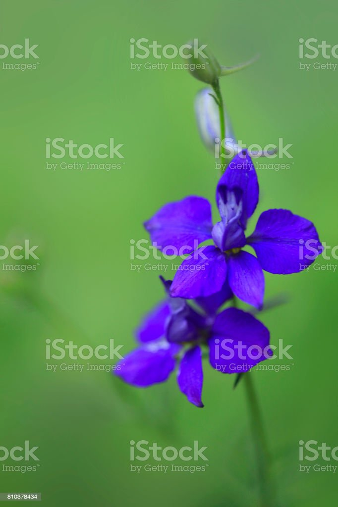 blue flower on green background stock photo