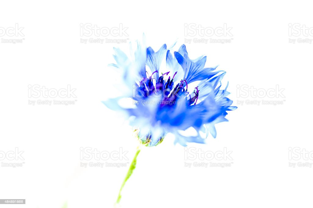 Niebieski kwiat zbiór zdjęć royalty-free