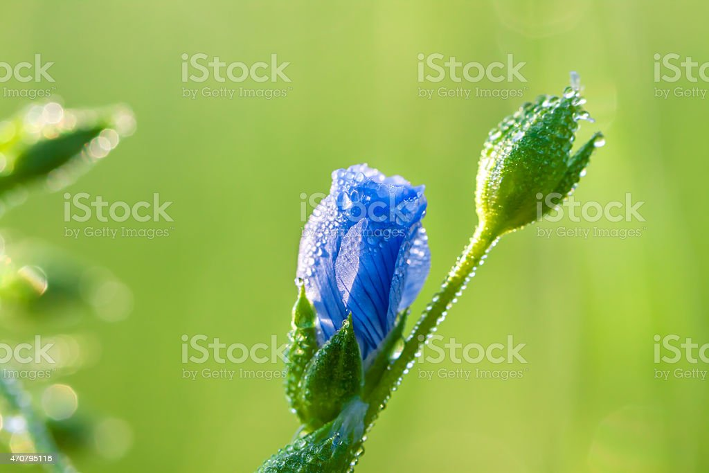 blue flower with water drops stock photo