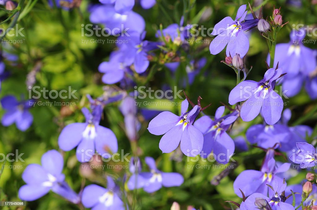Blue flowers background (lobelia) stock photo