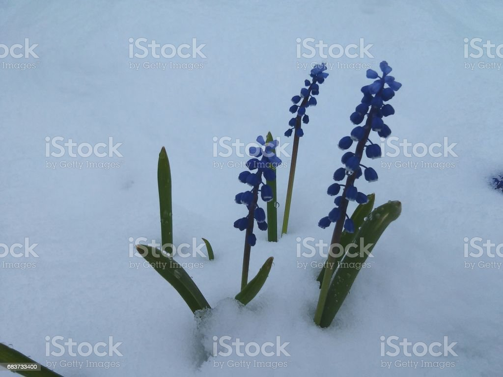 Blue flowers in snow stock photo