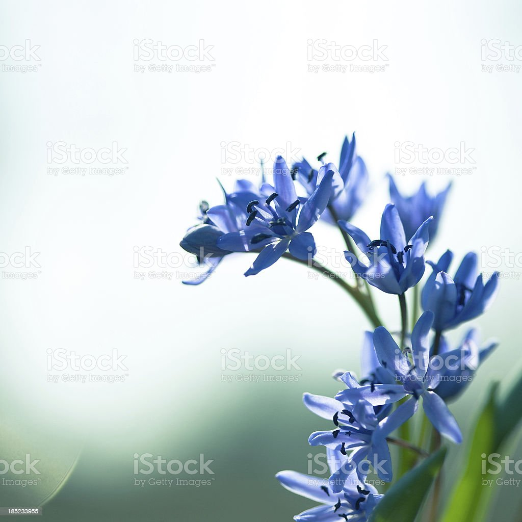 Blue flowers in the daylight. stock photo