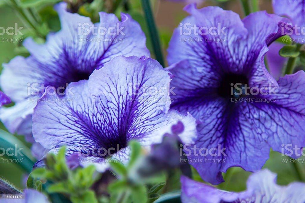 blue flowers in the foliage closeup stock photo