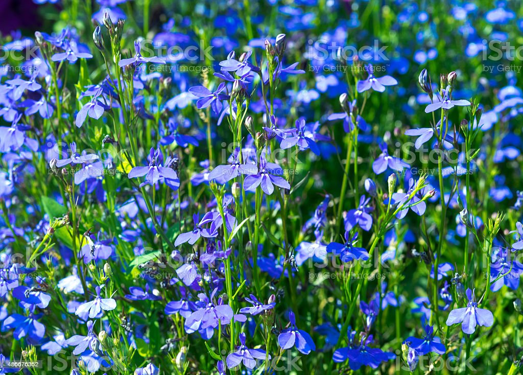 Blue flowers lobelia in focus on the flowerbed. stock photo