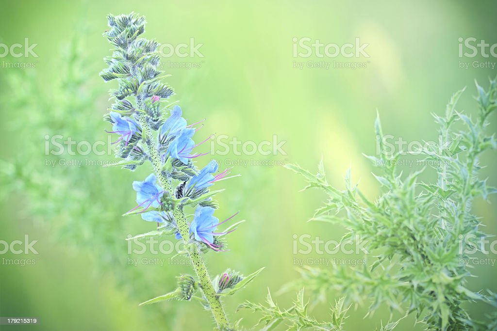 Blue flowers of burdock -bur royalty-free stock photo