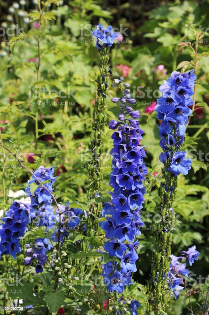 Blue flowers of delphinium in summer stock photo