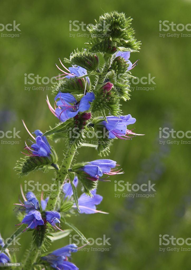 blue flowers of Echium vulgars plant stock photo