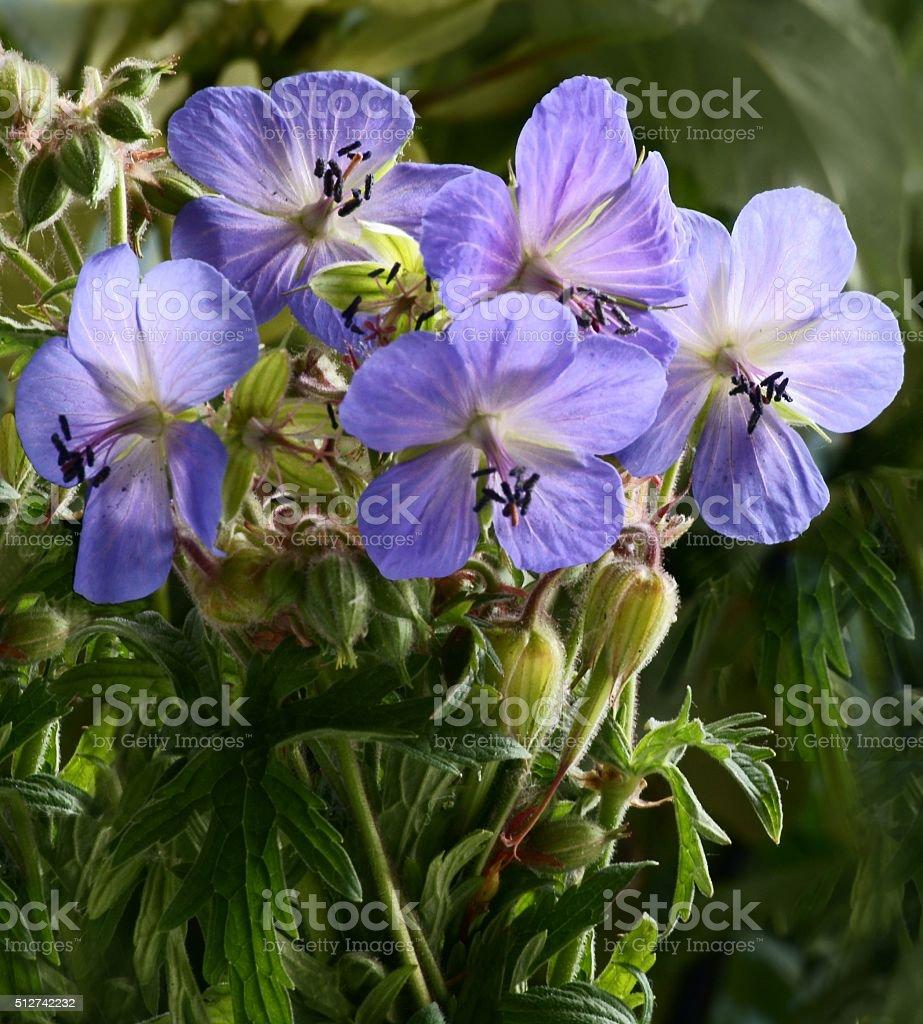 blue flowers of geranium on meadow stock photo