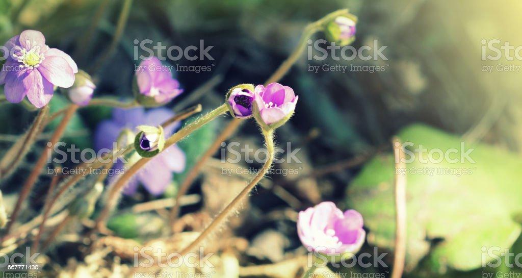 Blue flowers of Hepatica Nobilis also liverwort, kidneywort, pennywort, Anemone hepatica. stock photo
