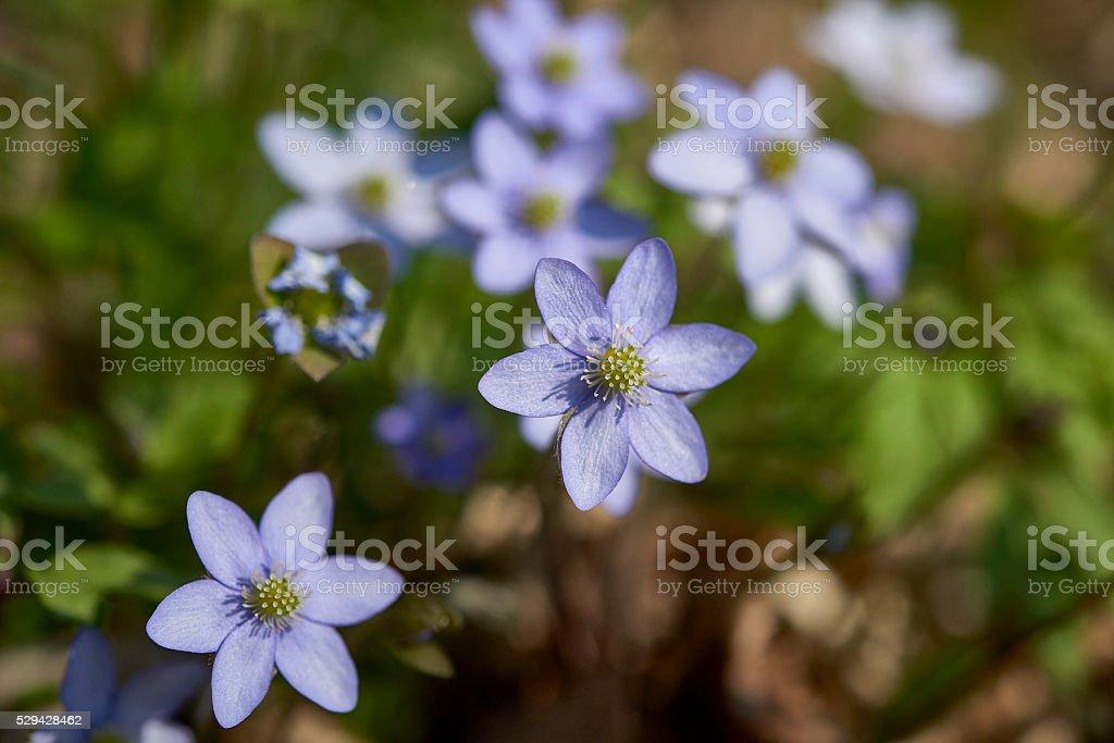 Blue flowers of Hepatica Nobilis close-up stock photo