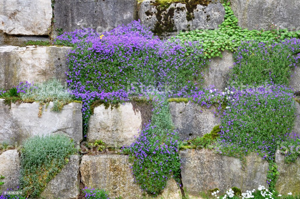 Blue flowers of the Aubrieta growing on a stone wall. stock photo