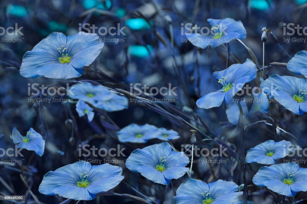 Blue flowers on blurry blue background. Floral background. Blue wildflowers in the grass.Nature. stock photo